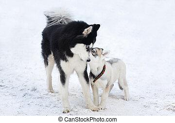 Two husky dogs