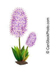 hyacinth - Two hyacinth flower with leaves and earth