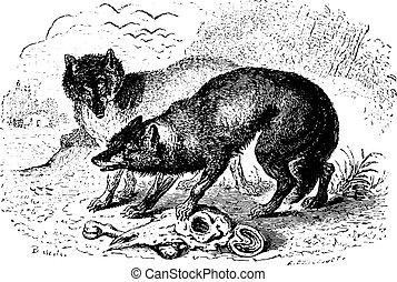 Two Hyenas, vintage engraving.