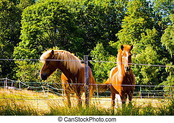 Two Iceland horses on a pasture in Bavaria, Germany