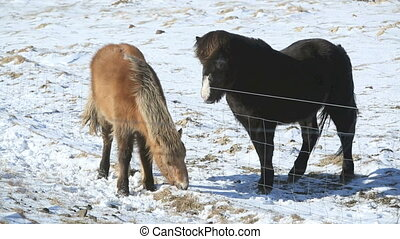 Two Icelandic horses on a meadow