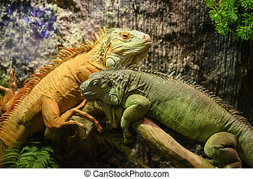 Two iguanas sitting on a branch