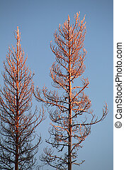 Two illuminated treetops in an orange sunset in northern Sweden