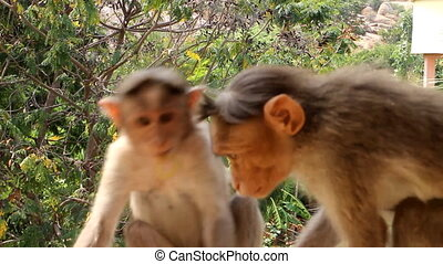 two Indian macaques in frame - monkeys play and explore...