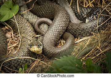 Two intertwined grass snakes lying in the sun