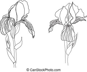 Two iris flowers drawing on white