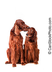 Two Irish Red Setters on white - Two Irish Red Setters...