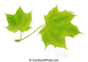 two isolated young maple leaves