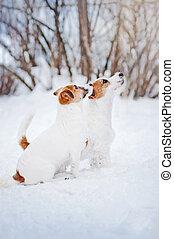 two Jack russel terrier portrait in winter