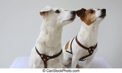 two Jack Russell Terrier at home interior - Two dogs are...