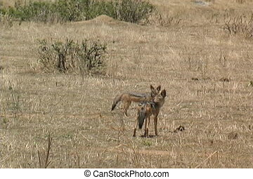 Two Jackals in Ruaha National Park Tanzania Africa