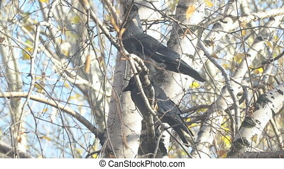 Two Jackdaw sitting on a birch branch among the yellow autumn leaves, and then fly away