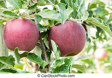 Two Jonathan apples hanging in a tree