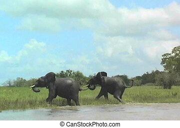 juvenile elephants