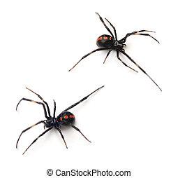 Black Widow - Two juvenile female Southern Black Widows (...