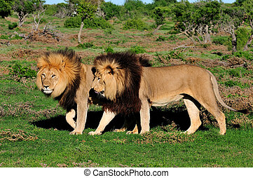 Two Kalahari lions, panthera leo, in the Kuzuko contractual area of the Addo Elephant National Park in South Africa