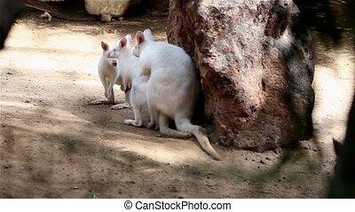 Two Kangaroo make love HD