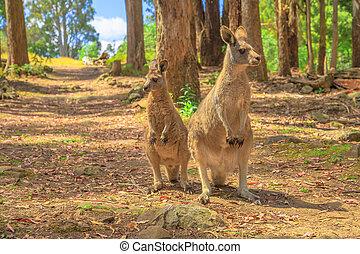 Two kangaroos in a forest - Two kangaroos, Macropus rufus, ...