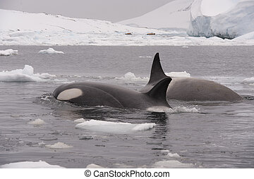 Two Killer Whales - Two Killer whales spy hanting in...