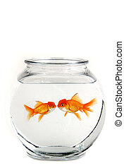 Two Kissing Goldfish - Two Goldfish in a Bowl Kissing