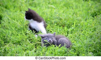 Two kitten in grass on the lawn