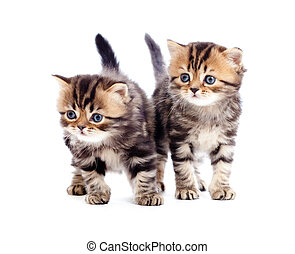 two kitten pure breed striped british isolated