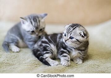 Two kitten scottish fold breed lying on bed