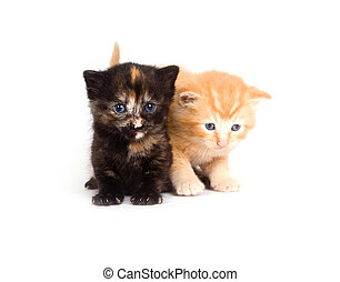 Two kittens standing on a white background
