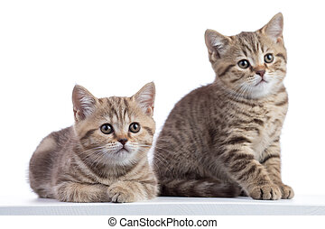 two kittens pure breed striped scottish isolated