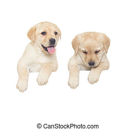 two labrador puppy on a white background
