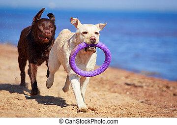 dog - two  labrador retriever dog