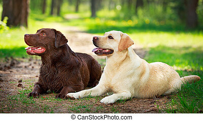 dog - two labrador retriever dog