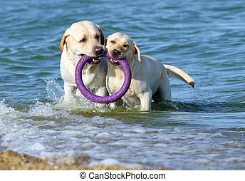 two labradors playing in the sea with a toy