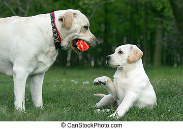 two labradors playing with a ball