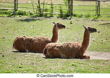 Lama guanicoe in green grase - Two Lama guanicoe in green ...
