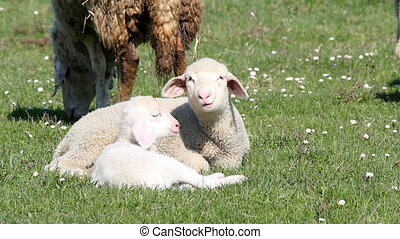 two lambs on pasture
