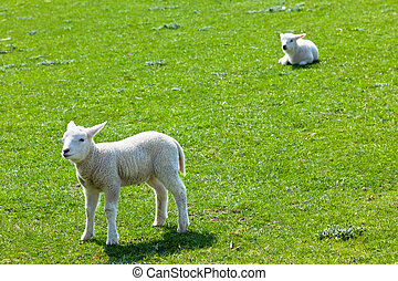 Two lambs on the green grass
