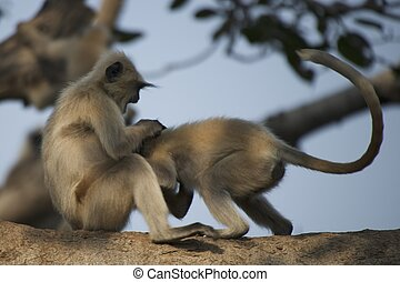 Two langurs playing