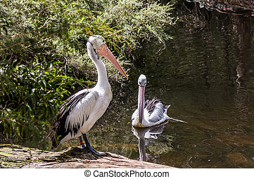 Two large Australian pelicans with