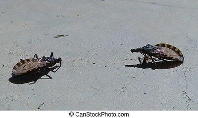 Two Large Creepy Bugs - Steady, medium close up shot of two...