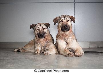 two large dog Anatolian shepherd breed sitting on a background of gray wall