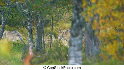 Two large grey wolves in pack runs through the forest in...