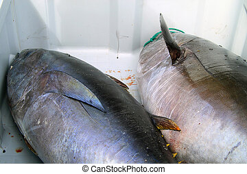 Two large just caught tuna