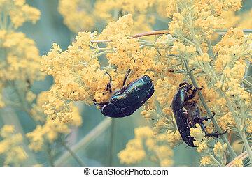 Large shiny green beetle Cetonia aurata - Two Large shiny...