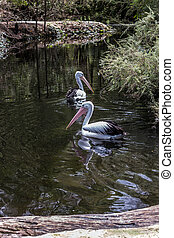 Two large waterfowl Pelicans