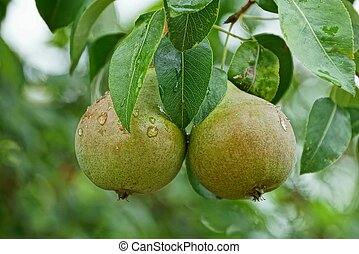 two large wet green pears on a branch with leaves