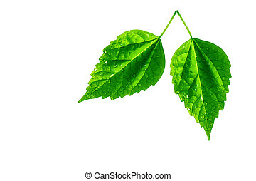 Two leaves isolated on white
