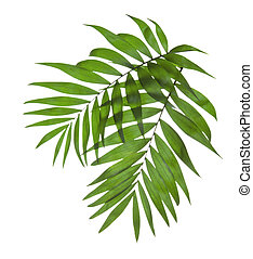 Two leaves of a palm tree isolated on white