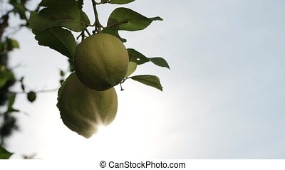 Two lemons on the tree against the sun ray lights - Two ...