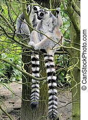 Two lemurs in a tree